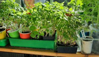 Tomatenzucht, Tomaten pflanzen, Tomaten Setzlinge